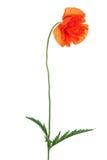 Single poppy flower isolated on white background. Royalty Free Stock Photo