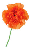 Single poppy flower isolated on white background. Royalty Free Stock Images