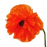 Single poppy flower isolated on white background. Stock Photography