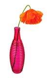 Single poppy flower isolated on white background. Stock Photos