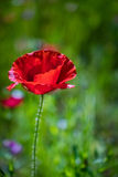 Single poppy flower Stock Photography