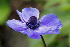 Single poppy flower Royalty Free Stock Photos