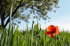 Single poppy flower. Single red poppy flower in natural field, close up, tree in the background Royalty Free Stock Photo