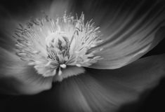 Single poppy in black and white. A single poppy flower seen in very close-up in black and white to see details and shades of gray the difficulty is the focus royalty free stock images