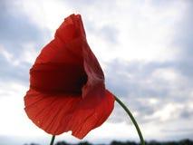 Single poppy flower on sky background. Close up Royalty Free Stock Photography