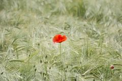 Single poppy flower on the  wheat field Royalty Free Stock Photography