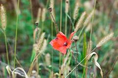 Single poppy flower in wild field. Papaver in wild field on summer Royalty Free Stock Image