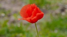 single Poppy Royalty Free Stock Photography