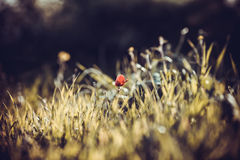 Single poppy in the grass Royalty Free Stock Photo