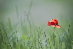 Single poppy on green backgound Royalty Free Stock Photo