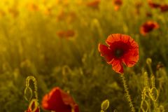 Single poppy on colorful background Royalty Free Stock Photography
