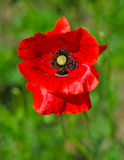 Single poppy Royalty Free Stock Photography