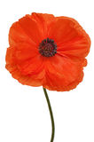 Single poppy isolated on white background. Stock Image