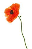 Single poppy isolated on white background. Royalty Free Stock Photo