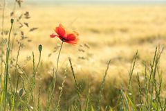 Single poppy on the meadow on a spring morning. Close-up of fresh poppy growing wild on a wheat field backlit by the rising sun. May, Poland royalty free stock photos