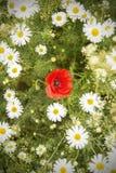Single Poppy Royalty Free Stock Photo