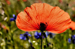 Single poppy petal Royalty Free Stock Photography