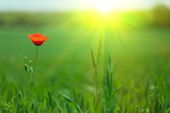 Single poppy in sunlight Royalty Free Stock Photography