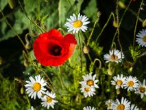 Single poppy surrounded by wild daisies royalty free stock photos