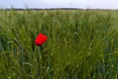 Single poppy V1 Royalty Free Stock Photos