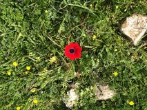 Single Poppy Stock Images