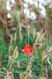 Single poppy in wild field Royalty Free Stock Images