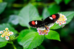 Single Postman Butterfly or Common Postman (Heliconius melpomene) Stock Photo