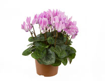 Single pot of pink Cyclamen on a white background Royalty Free Stock Photos