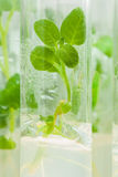 Single potato plant in laboratory tube Royalty Free Stock Image