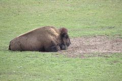 Single powerful buffalo / bison lying stock photography