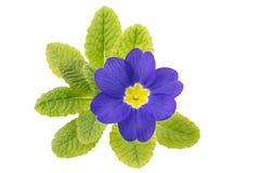 Single primrose (primula) flower Stock Images