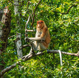 Single Proboscis Monkey sitting in a tree. A single Proboscis Monkey rests in a tree in the Mangrove forest of Borneo royalty free stock photos
