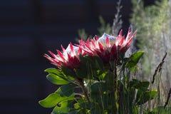Single Protea, Protea cynaroides royalty free stock images