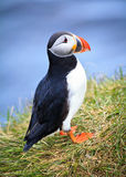 Single Puffin. Puffin standing on the edge of the Atlantic Ocean Royalty Free Stock Photography