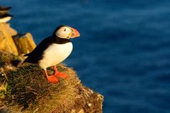A single puffin on a cliff Royalty Free Stock Photos