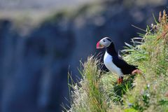A single puffin on a cliff Stock Images