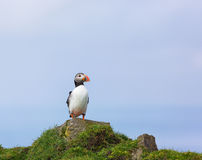 Single Puffin. Royalty Free Stock Photos