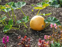 Single pumpkin in the cottage garden Stock Photos