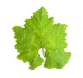 Single Pumpkin Leaf Stock Image