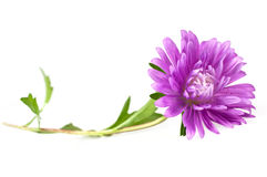 Single purple aster Stock Images