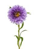 Single purple aster Royalty Free Stock Photo