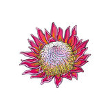 Single purple colored king protea, sketch vector illustration. Single purple colored king protea, sketch style vector illustration  on white background. Colorful Stock Image