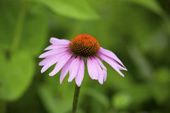 Single purple coneflower, with lavender rays and orange discs, Vernon, Connecticut. Stock Photo