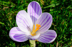 A single purple crocus closeup Stock Photography