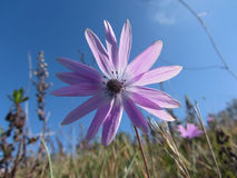 Single purple daisy flower against the blue sky . Tuscany, Italy Royalty Free Stock Photos