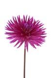 Single purple dalia flower. On White Background Royalty Free Stock Photo