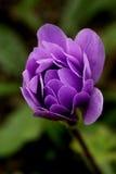 Single Purple Flower. Single Purple Double Anemone Flower beginning to open Stock Image