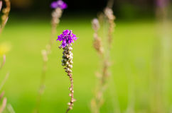 Single purple flower. Beautiful natural purple flower in a green field Royalty Free Stock Image