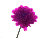 Single Purple Flower. A Single Purple Flower, Isolated on White Royalty Free Stock Photography