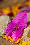 Single purple flower lying between rocks Stock Photos